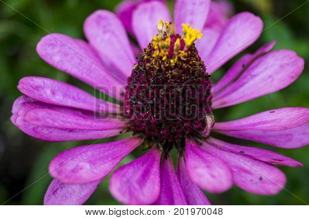 flower, garden, flowerbed, bud, plant, bud of garden flower with purple petals.