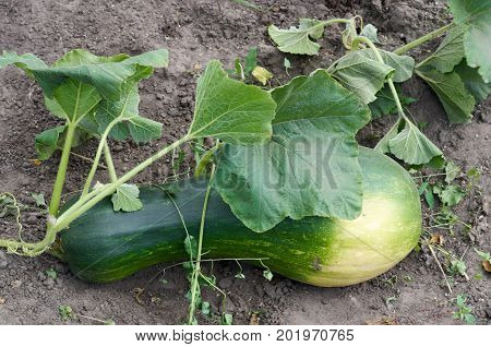 Ripe organic cultivar squash vegetable in the summer garden.Green marrows vegetable grows in a garden on open soil.Ripe Green zucchini with leaves