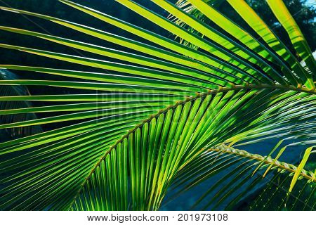 beautiful, amazing closeup detailed view of a natural green palm leaf, lit by sun rays in tropical garden, cayo coco island, Cuba