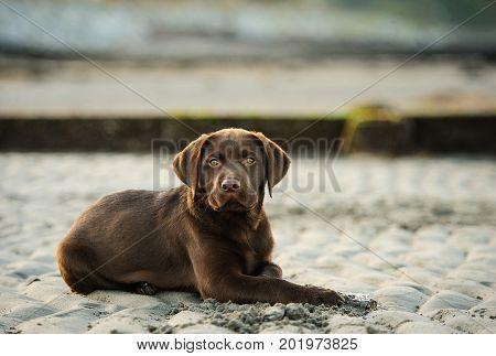 Chocolate Labrador Retriever dog lying on sand