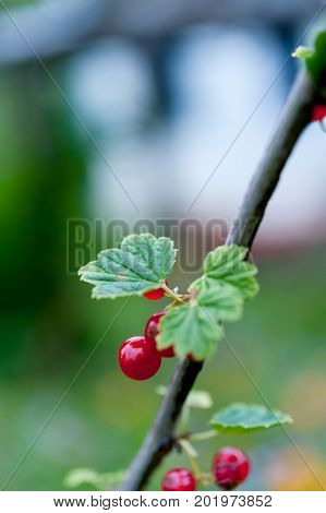 Ripe redcurrants growing on redcurrant bush in summer