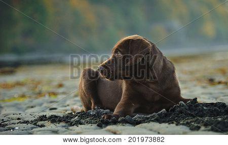 Chocolate Labrador Retriever puppy dog lying on sand beach