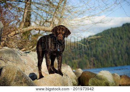 Chocolate Labrador Retriever dog standing on rocks on shore