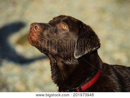 Chocolate Labrador Retriever dog head shot against ground