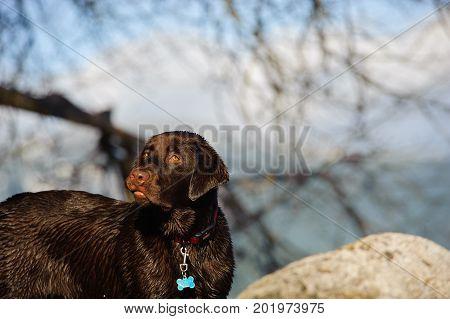 Chocolate Labrador Retriever dog portrait in nature