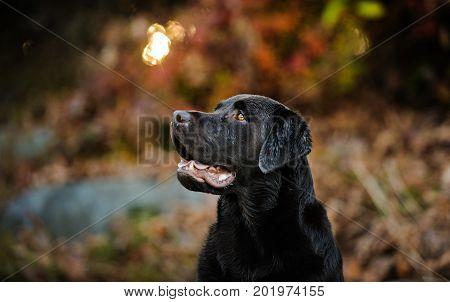 Chocolate Labrador Retriever dog in fall forest