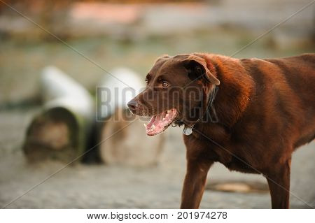 Chocolate Labrador Retriever dog on beach with driftwood