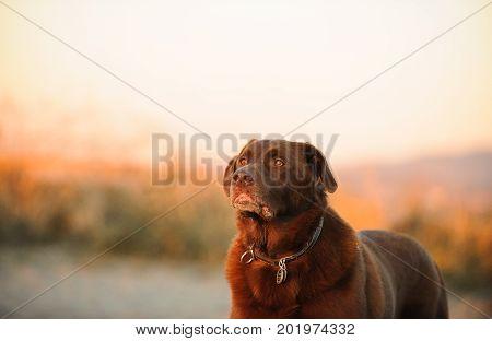 Chocolate Labrador Retriever dog portrait in morning light