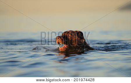 Chocolate Labrador Retriever dog swimming in water