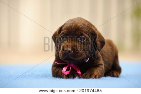 Chocolate Labrador Retriever puppy with pink bow