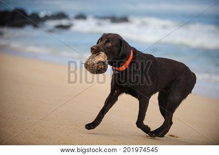 Chocolate Labrador Retriever dog running on ocean beach holding coconut
