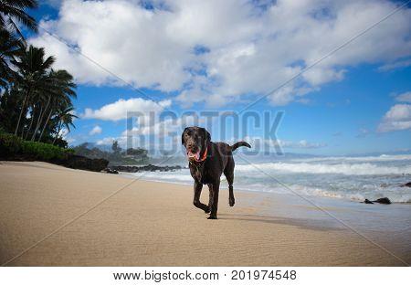 Chocolate Labrador Retriever dog running on tropical beach