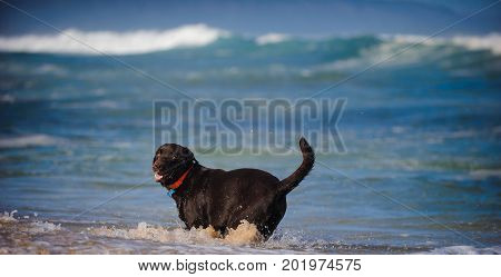 Chocolate Labrador Retriever dog playing in ocean surf