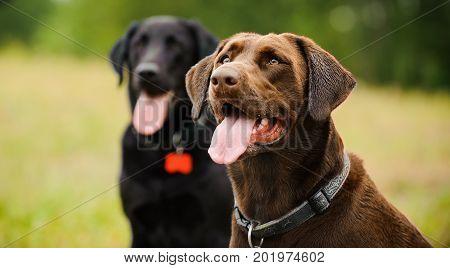 Chocolate Labrador Retriever and Black Labrador Retriever dog portrait