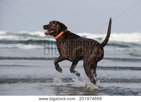 Chocolate Labrador Retriever dog running out to ocean looking back