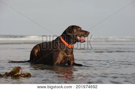 Chocolate Labrador Retriever dog sitting in ocean water