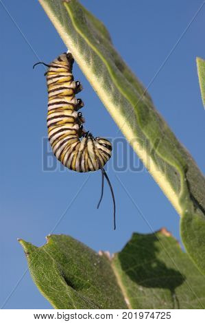 This monarch is feeding on the preferred food source of the species milk weed.
