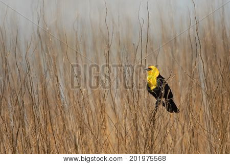 A yellow-headed black bird perched among the weeds in a northern Missouri wetland.