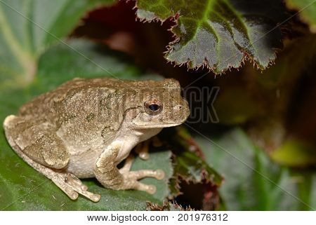 This appears to be Copes tree frog which is very difficult to distinguish between the grey tree frog found in the same areas.
