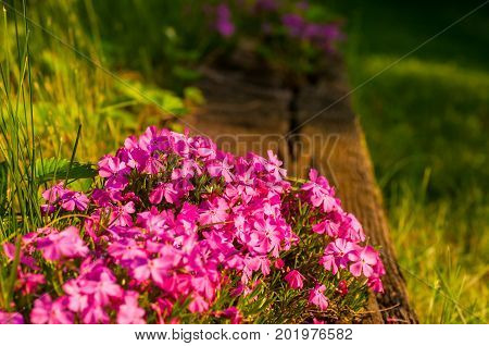 Creeping phlox spills over the edge of a wood plank