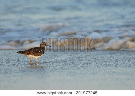 A shore bird hunting in the surf on South Padre Island in southern Texas.