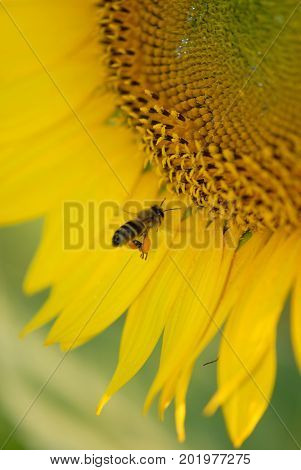 A honey bee flying in to land on a large sunflower to collect pollin.