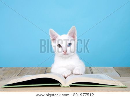 Portrait of one cute white kitten with heterochromia or odd-eyes laying on a story book on a wood floor looking directly at viewer. Powder blue background with copy space.
