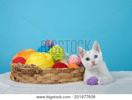 Small white kitten with heterochromia or odd-eyed next to a brown basket with colorful balls of yarn one ball in paws looking at viewer. Blue background with copy space