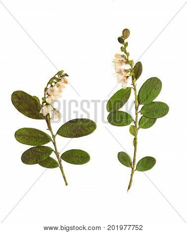 Pressed and dried flowers lingonberry isolated on white background. For use in scrapbooking pressed floristry (oshibana) or herbarium.