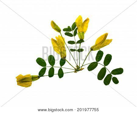 Pressed and dried flower acacia (caragana arborescens) isolated on white background. For use in scrapbooking floristry (oshibana) or herbarium.