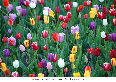 A cropped image from a field of tulips grown in Kansas City Missouri.