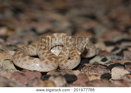 A Texas night snake photographed in West Texas near Big Bend National Park.