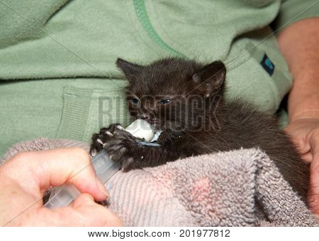 Two week old black kitten being syringe fed formula by hand. Feeding a newborn orphaned kitten is a challenge but can be fun and rewarding.