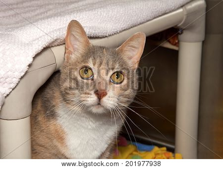Diluted Calico Cat peaking out hiding under her bed looking up above viewer at the ceiling. Untrusting insecure anxious animal