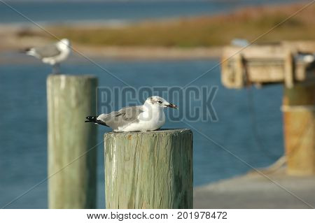 A sea gull takes a rest on a post on a dock in the Gulf of Mexico.