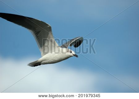A seagull in flight with a light blue sky and a few white clouds in the background.