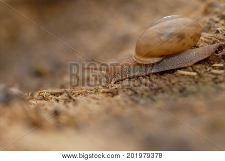 A brown snail is shown crawling on a rotting log.