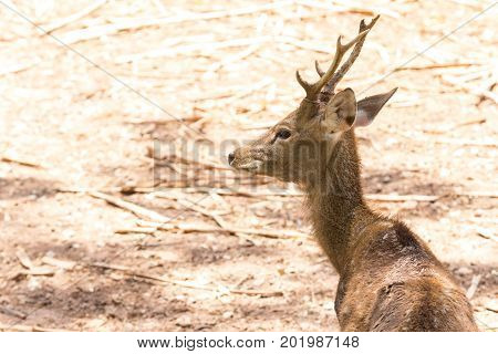 animal outdoor background closeup portrait image Deer