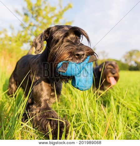 Standard Schnauzer Walking With A Treat Bag On The Meadow