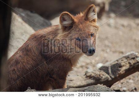 Ussuri dhole (Cuon alpinus alpinus), also known as the Indian wild dog.