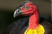 Australian Brush-turkeys makes one of the largests nests in the birding world. poster