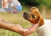 A dog (puppy Jack Russel) drinking water flowing from a bottle to a man's hand poster