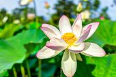 Macro closeup of bright white and pink lotus flower with yellow seedpod inside and blue sky poster