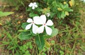 madagascar periwinklevinca or old maid flower (catharanthus roseus) poster