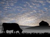 cow on pasture at sunset in summer poster