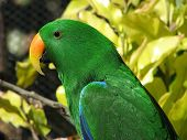 eclectus parrots live in the Northern Territory in the rain forests poster