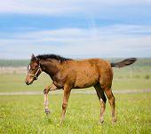 Bay foal in field poster
