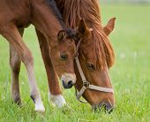 Sorrel mare and bay foal in field poster