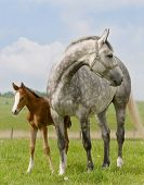 Dapple-gray mare and bay foal in field poster