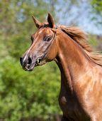 Portrait of beautiful sorrel arabian horse in wood in gallop poster